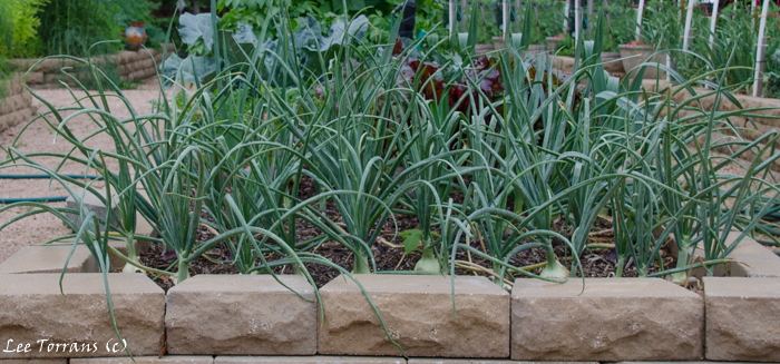 Spring Onions in Raised Bed Gardening Texas Landscape Design