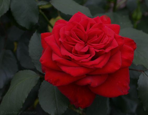 Olympiad Red Hybrid Tea Rose for Texas
