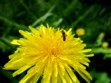 Dandelion, and ant