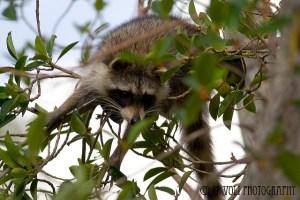 "Raccoon at J. N. ""Ding"" Darling National Wildlife Refuge, Sanibel Island, FL. Photo: Michelle Voli Photography"