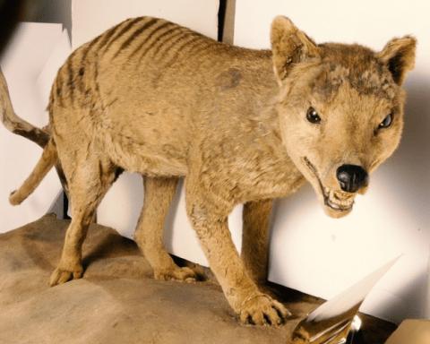 Leeds Discovery Centre Tasmanian tiger