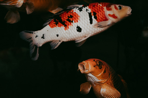 koi fish animal fine art photography dark film artwork