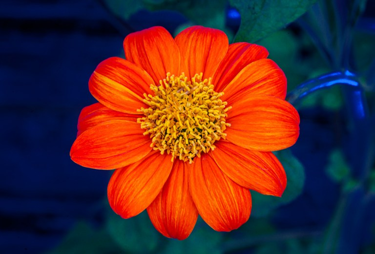 orange flower wall art duke of bishop dahlia
