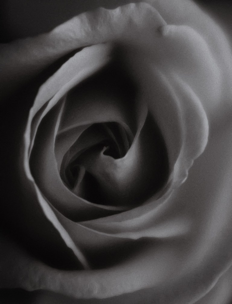 black and white flower rose fine art macro photography