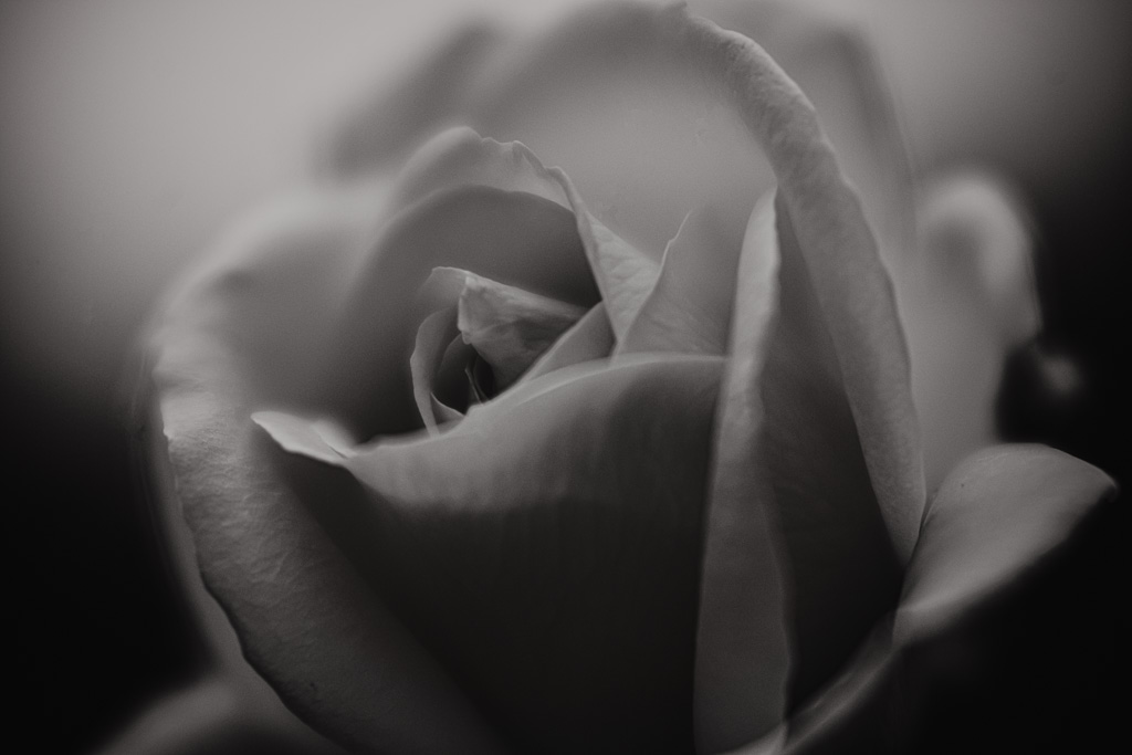 black and white fine art rose artwork by leela moon