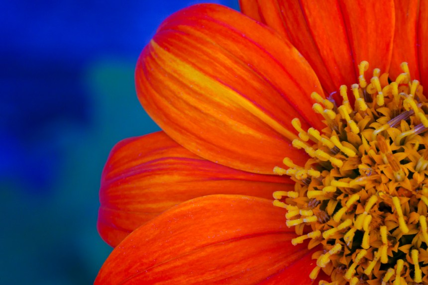 orange and blue fine art flower photography artwork for home