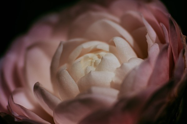 fine art floral photography flower limited edition print