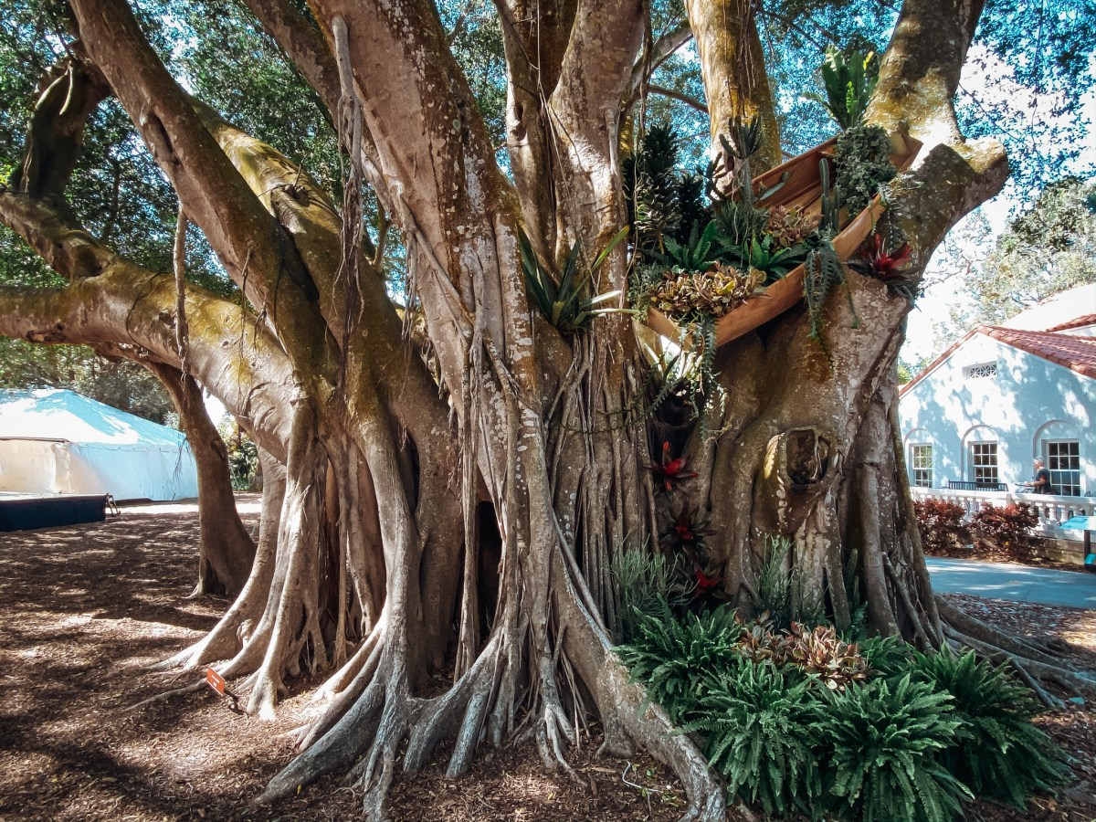 marie selby banyan tree photography leela moon art