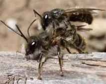 Hornface bee