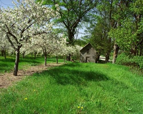 Leelanau Cherry Blossom Report