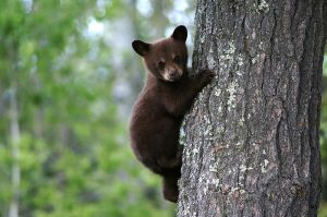 800px-bear_cub