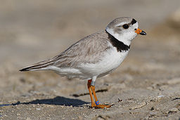 charadrius-melodus (Piping Plover)