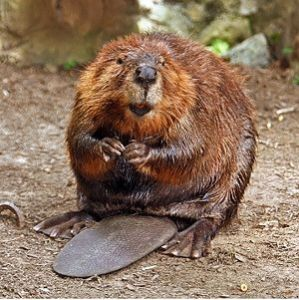 300px-american_beaver