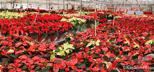 Holiday Color Tour: PlantMasters Poinsettias