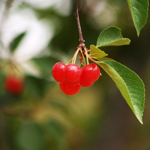 Leelanau Tart Cherry Cluster