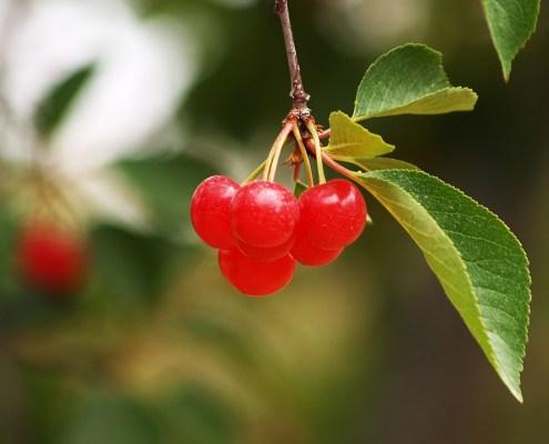 State of Leelanau County's 2011 Fruit Crops