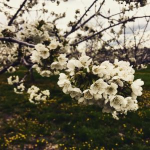 The first Cherry Blossoms of 2017 are starting in Leelanau!
