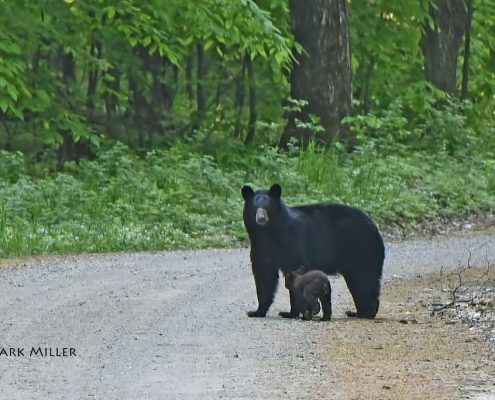 Bear Patrol: July 2018 in Leelanau Edition
