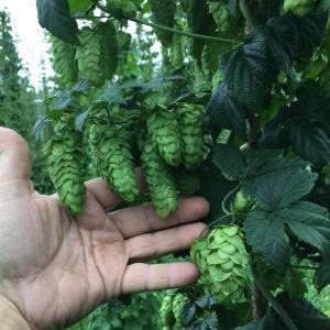 Breweries Turning to Michigan (and Leelanau) Hops