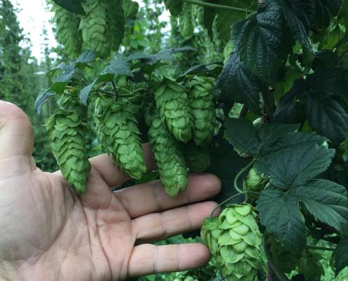 Breweries Turning to Michigan (and Leelanau) Hops