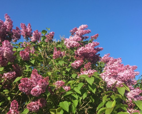 Lilac Season on the Leelanau Peninsula