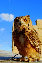 the owl perched on a wall. small moon visible in background in a blue blue sky.