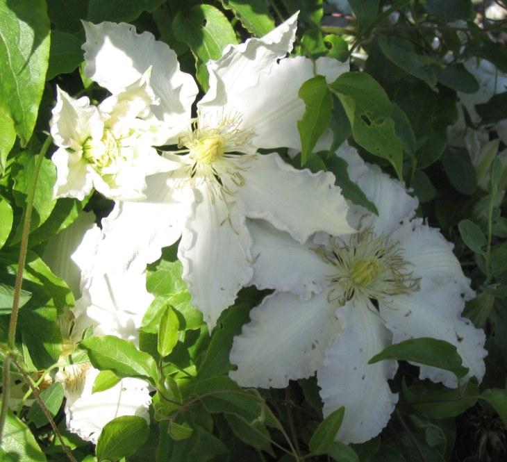 whiteruffle