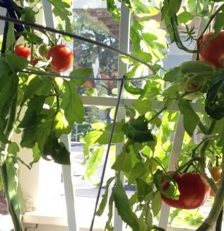 tomatoes 7-3-15 006