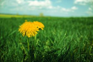 lawn of green grass with two yellow dandelions