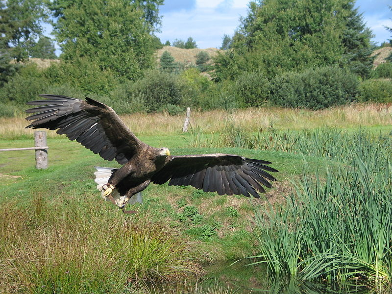 White-tailed Eagle in Flight - Wikipedia