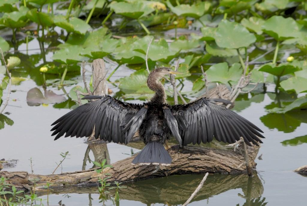 Anhinga Outstretched by Dan