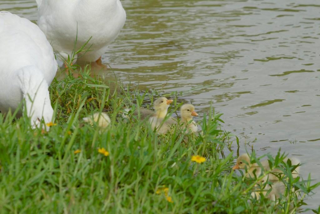 Baby Geese by Dan