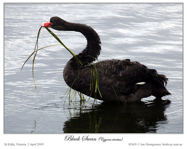 Black Swan (Cygnus atratus) by Ian