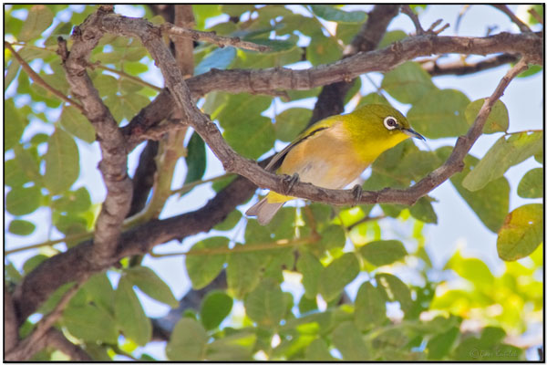 Japanese White-eye (Zosterops japonicus) by Daves BirdingPix