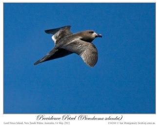 Providence Petrel (Pterodroma solandri) by Ian