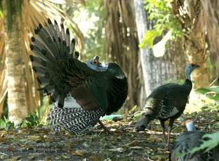 Ocellated Turkey (Meleagris ocellata) by Kent Nickel