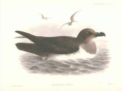 Atlantic Petrel (Pterodroma incerta) ©Drawing WikiC