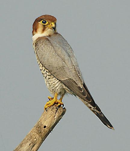 Bird of the Bible - Falcons II (2/2)