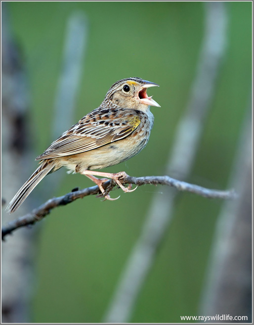 Grasshopper Sparrow Singing (by Ray's Wildlife Photography)