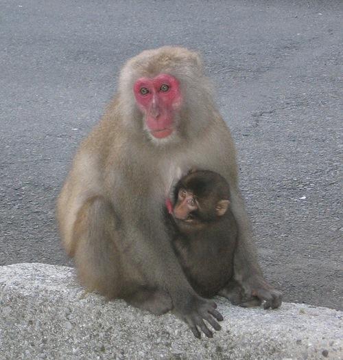monkeyJapan