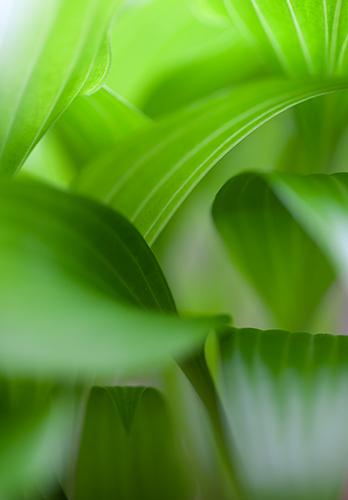 Hosta closeup