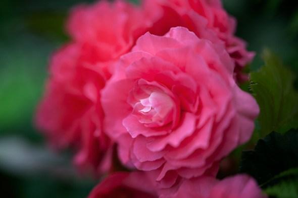 Begonia closeup