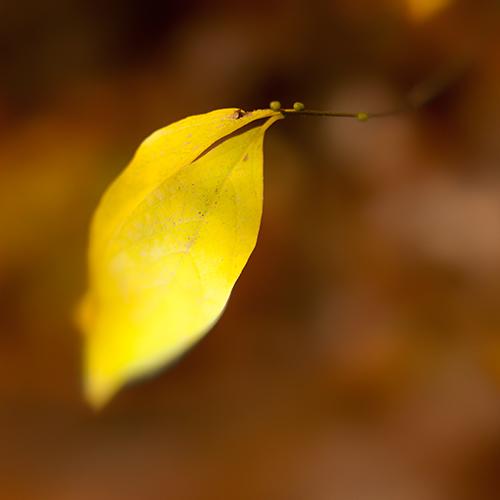 Spice bush leaves
