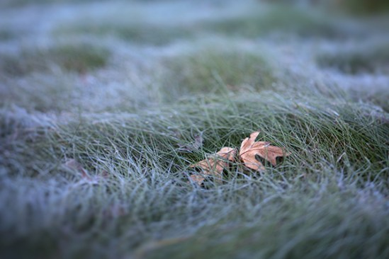 Leaves on frost covered grass