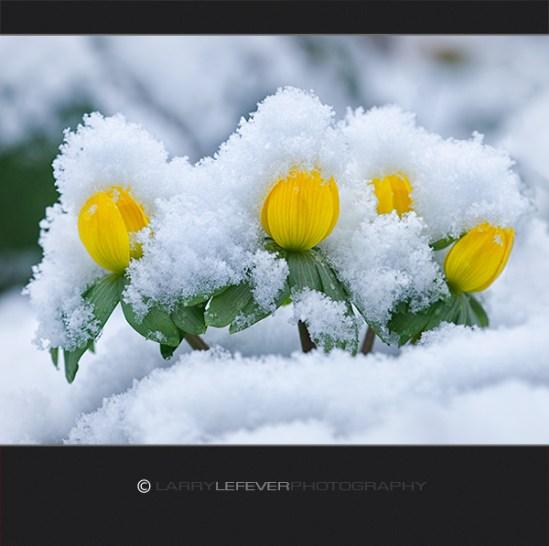 Winter Aconite in snow