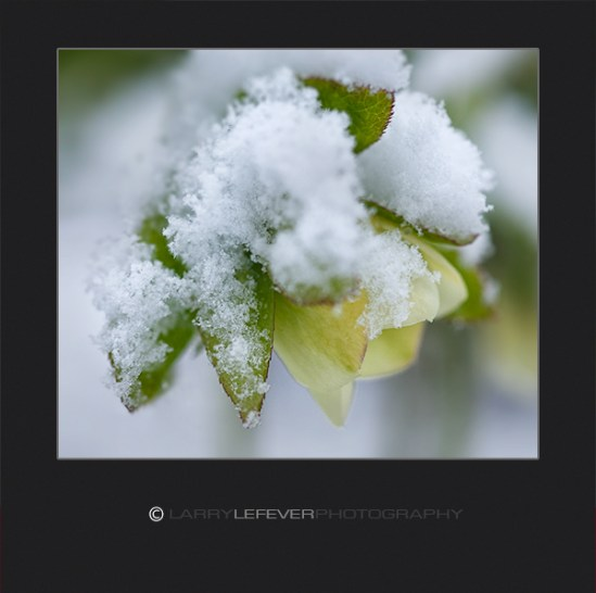 Snow on Hellebore