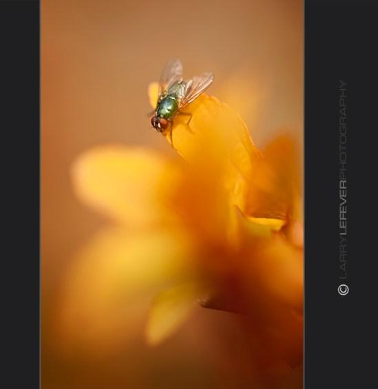 Fly on Spirea