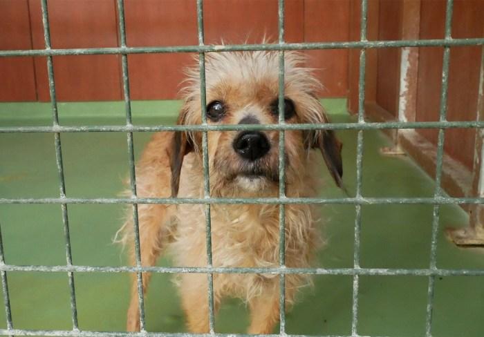 Cette petite chienne vient d'arriver à la SPA. Au vu de son âge, et de sa surdité, le personnel du refuge souhaite qu'elle puisse retrouver une famille rapidement, par peur qu'elle ne finisse ses derniers jours dans un box. Photo : Jade Loncle