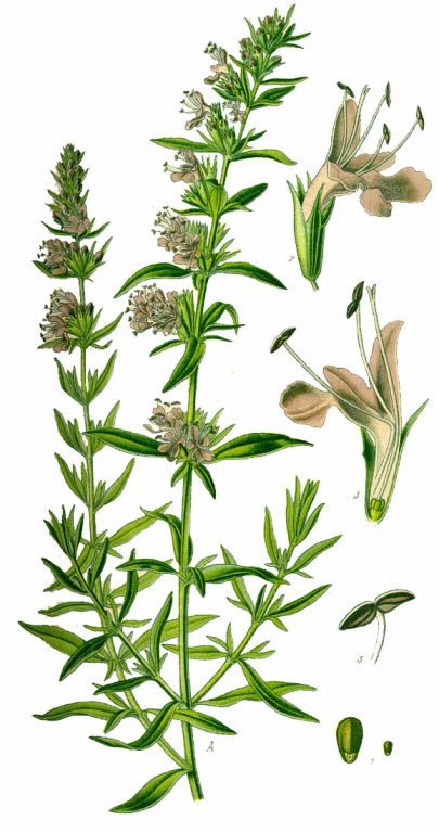 640px-Illustration_Hyssopus_officinalis0