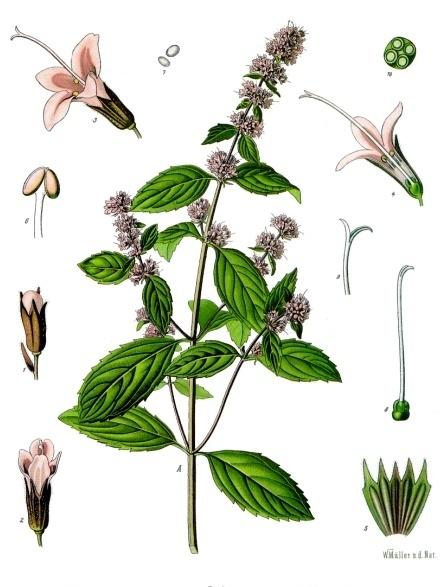 Mentha_×_piperita_-_Köhler–s_Medizinal-Pflanzen-095